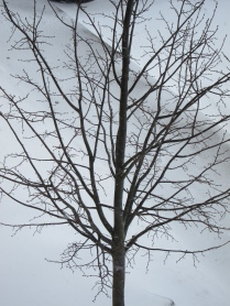 This tree has become a measurer of the weather.