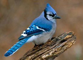 blue_jay_glamour Cornell Lab of Ornithology all about birds jays blue jay Cyanocitta cristata