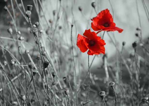Poppies Remembrance Day Lest We Forget