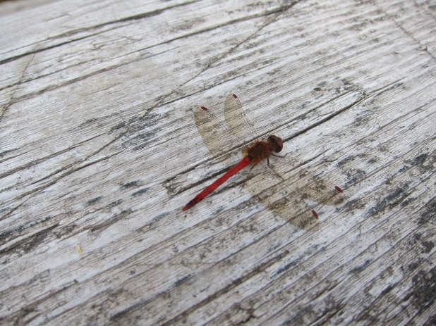 Dragonfly on picnic table